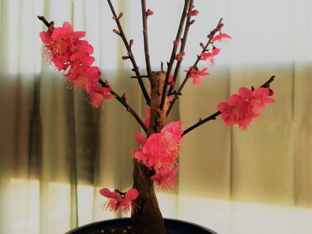 お店の梅の花が咲きました♪