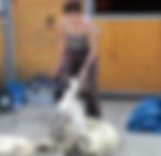 schapen_scheren.png