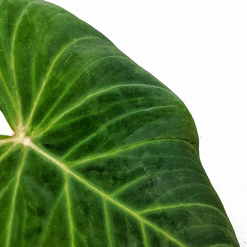 Philodendron pseudoverrucosum