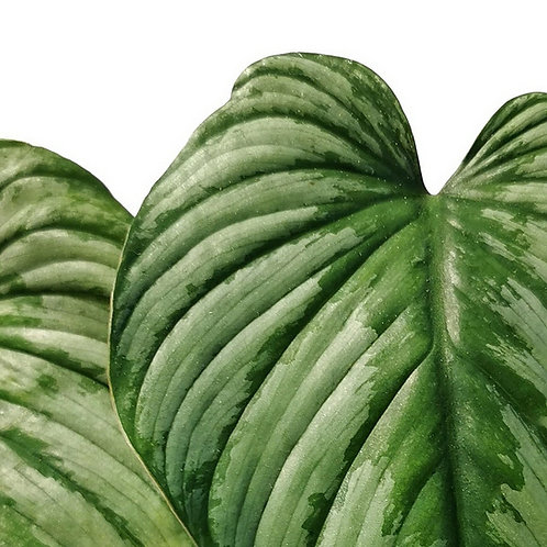 Philodendron  'Silver cloud'