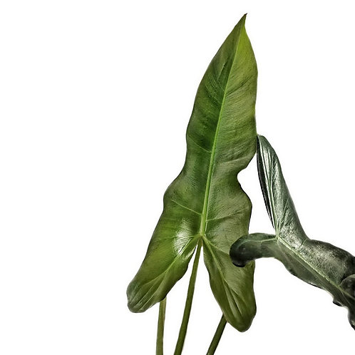 Philodendron simmondsii