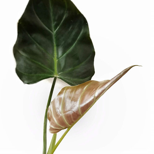 Philodendron corsinianum x
