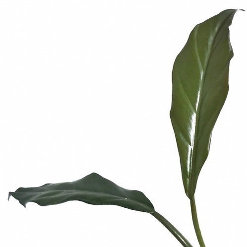 Philodendron 'Pluto'