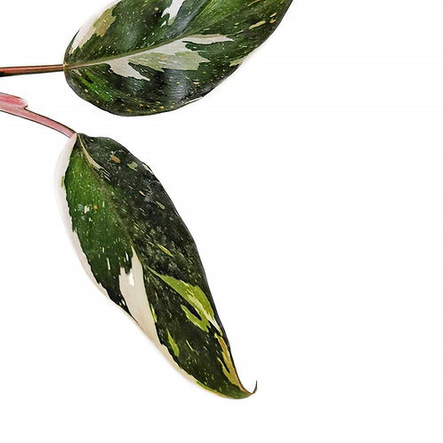 Philodendron 'Anderson's red' variegata