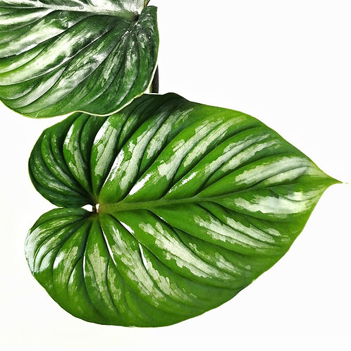 Philodendron plowmanii