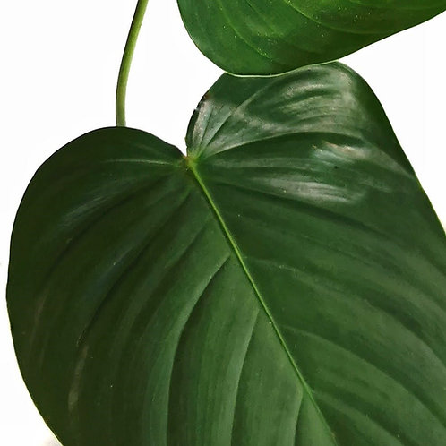 Philodendron grandipes aff