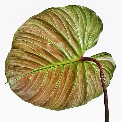 Philodendron sp. 'El Choco red'