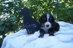Gus (1)