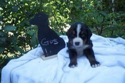 Gus (3)