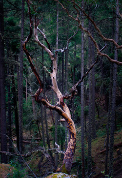 Oregon Forest Plants-01