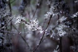 Oregon Forest Plants-10
