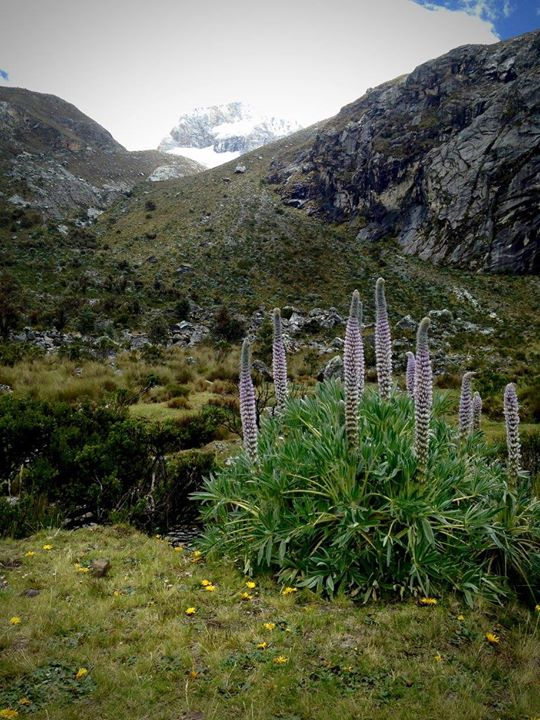 Lupines on Laguna 69 trek