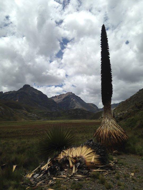 Puya Raymundi Plant