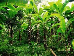 Banana forest, Manabi