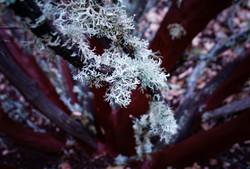 Oregon Forest Plants-08