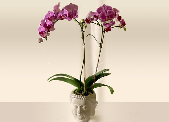 Phalenopsis Orchid Buddha