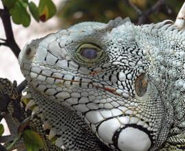 Iguana by Judy Lathrop