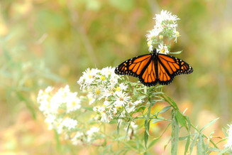 Monarch by Mary Johnson
