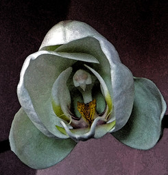 Orchid by Judy Lathrop