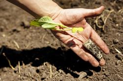 Kabispflanze, Royal-Sauerkraut,