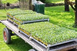 Kabispflanzen, Royal-Sauerkraut