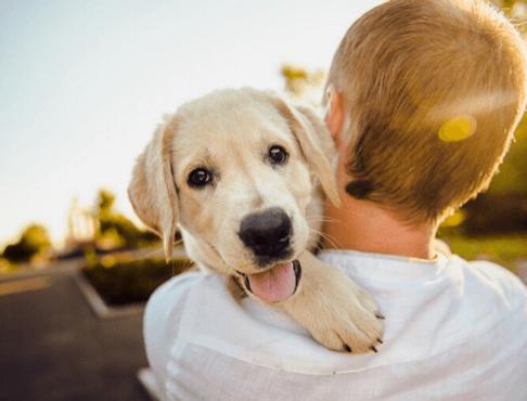 Filhote de Labrador com o dono