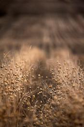 Flax 2017.jpg