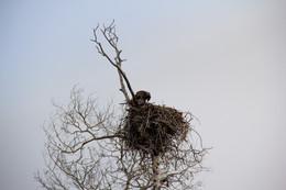 Juvenile Bald Eagle Chick