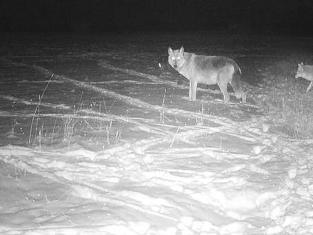 Using Trail Cameras to Analyze Wildlife
