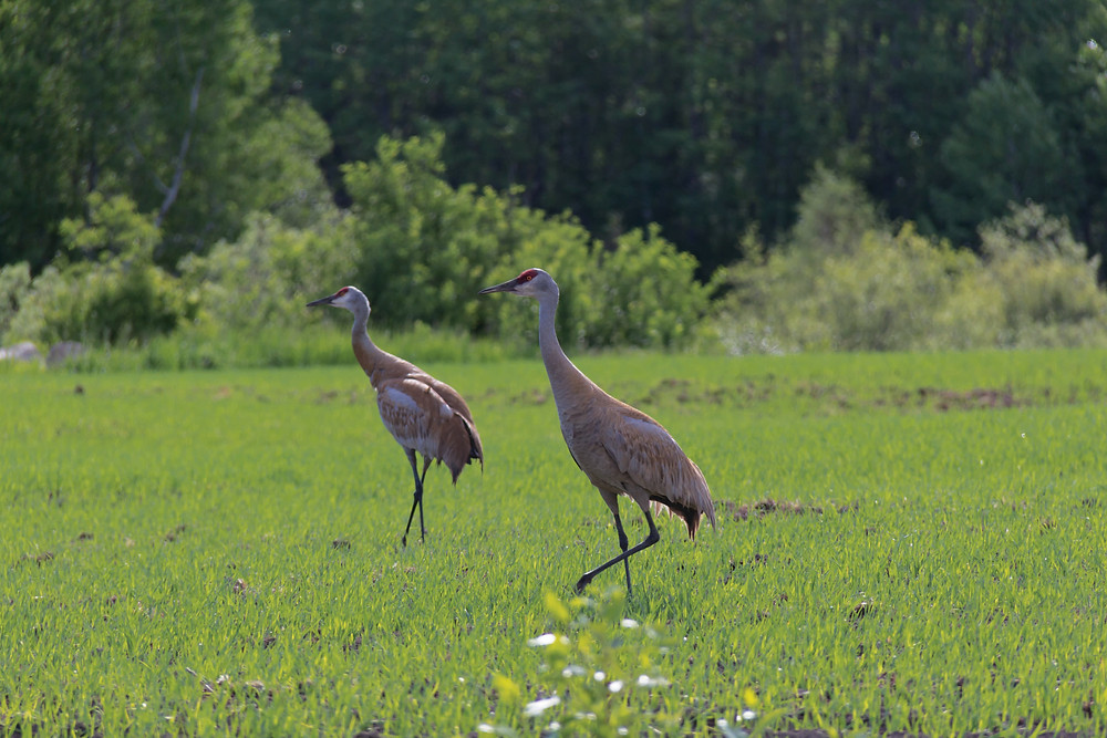 A pair of sandhill cranes watch over their chick along a grid road East of Greenwater PP.