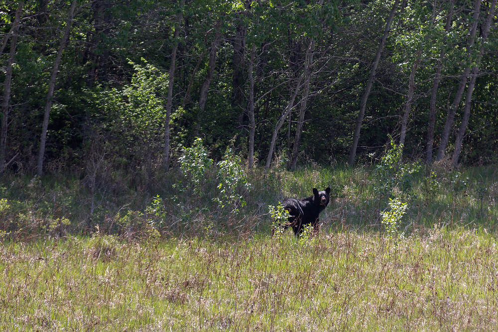 Black Bear Sow with 3 cubs along HWY 9 South of Stockholm.