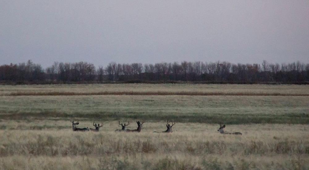 Early in the morning a bachelor group of Mule Deer bucks gathered in a field not far from the Qu'Appelle Valley.