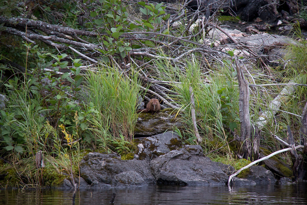 A Mink peeks out at our boat along the shores of Jan Lake, Saskatchewan.