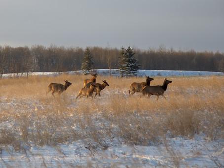 """Elk Herds in Saskatchewan: the story behind """"In Motion"""""""