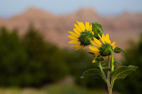 sunflowers, badlands, badlands national park, South Dakota, plant, flower