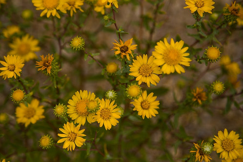 wildflowers, Montana, yellow, plants, nature