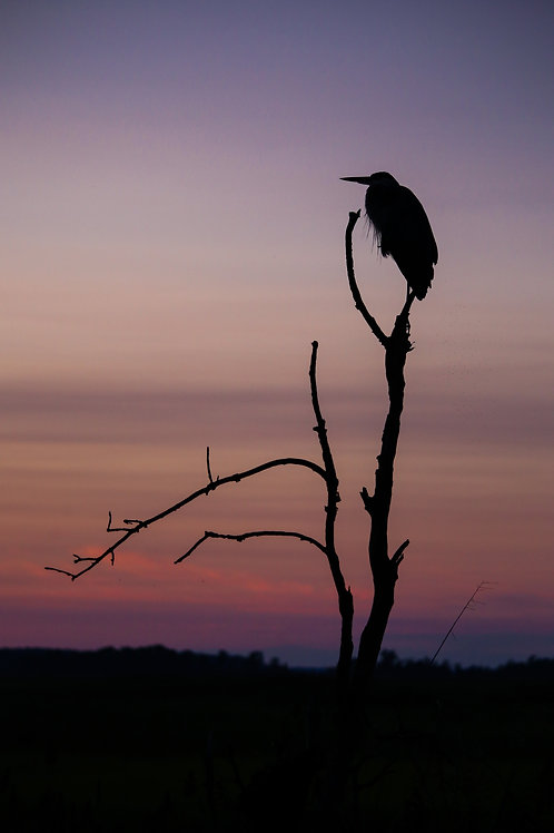 blue heron, silhouette, sunset, bombay hook, wildlife