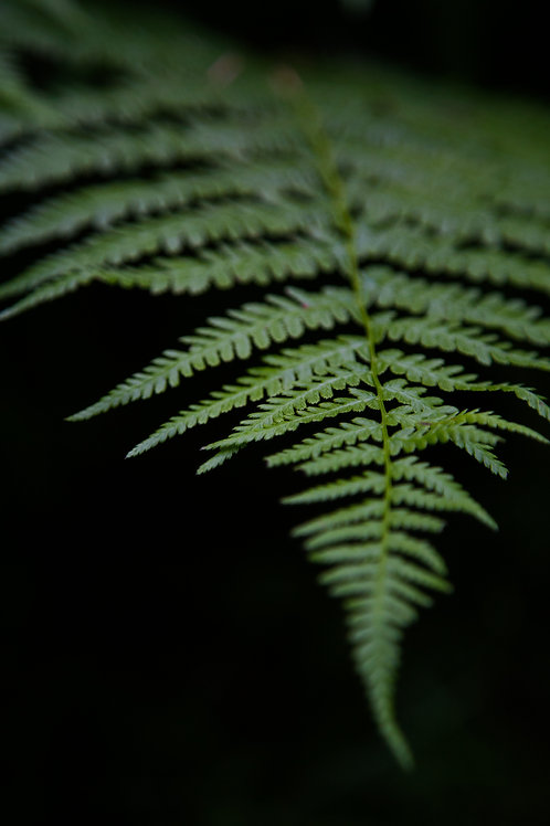 fern, forest, hoh rainforest, olympic, olympic national park, plant
