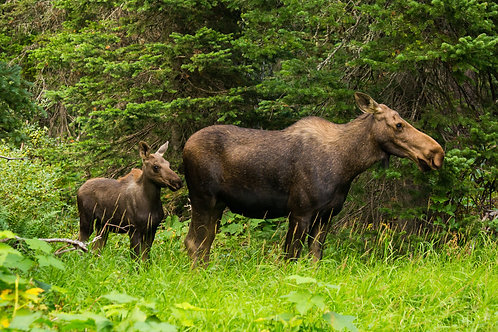 moose, calf, montana, glacier national park, wildlife