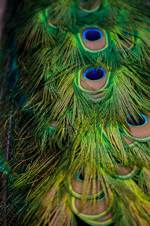 peacock, feathers, colors, abstract, vibrant, bird