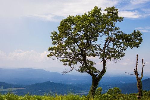 Shenandoah, Virginia, national park, skyline drive, tree
