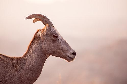 bighorn sheep, photo, badlands, ewe