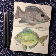 slefever-sketchbook-pinfish.jpg