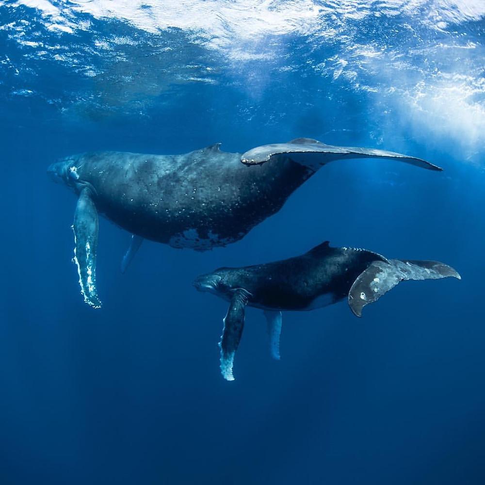 Whale mum and bub
