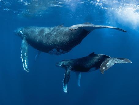 Tongan Whale Retreat July 2016