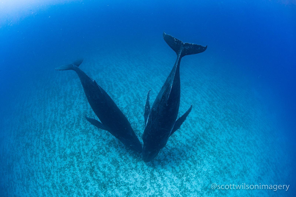 Humpback whale pair