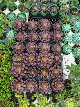 "Assorted 3"" Succulents"
