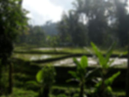 rizière bali indonésie jungle