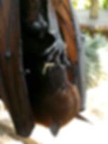 batman chauve-souris fructivore bali indonésie