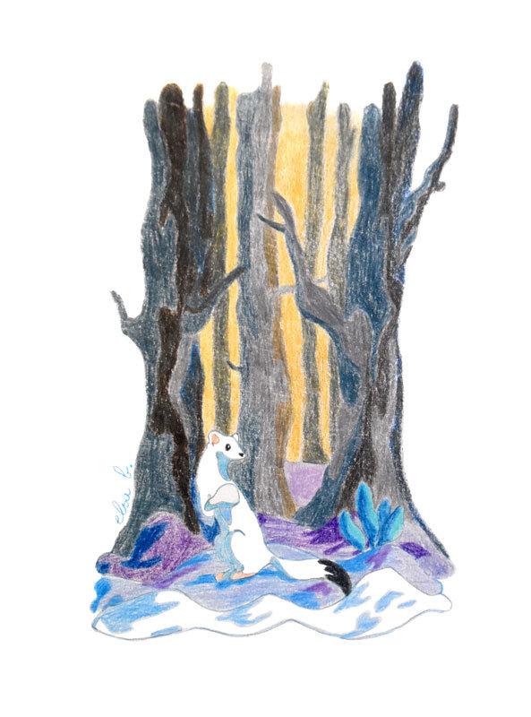 Illustration aux crayons de couleur Hermine dans les bois